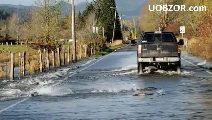 Очевидці зняли на відео перепливання лососів через автомобільну дорогу