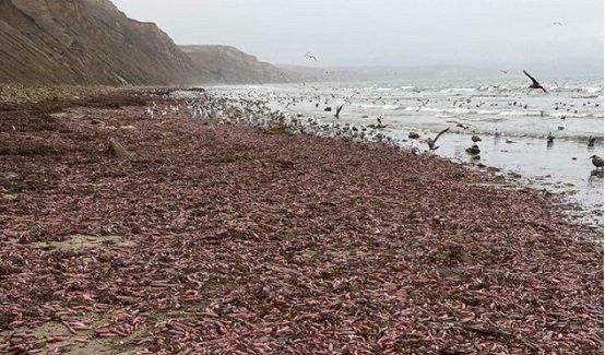 """""""Риба пеніс"""": у штаті Каліфорнія на берег викинуло багато хробака"""